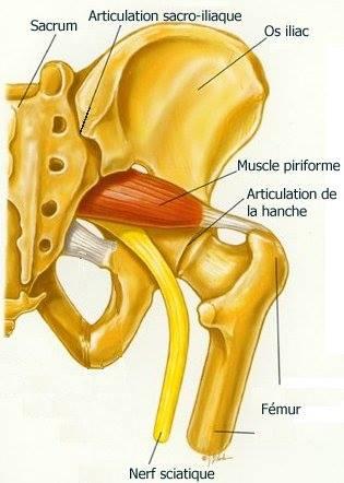 anatomie du nerf sciatique pdf